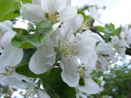 appletree flower