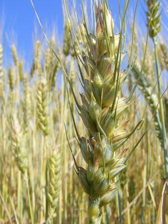 cornfield, corn, ear, spike, spikelet