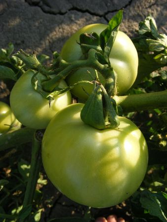 green tomatoe plant Stock Photo