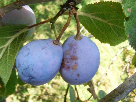 plum on tree
