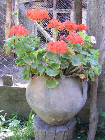 geranium, pelargonium, storks-bill in apot Stock Photo