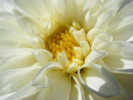close photo of a dahlia flower Stock Photo