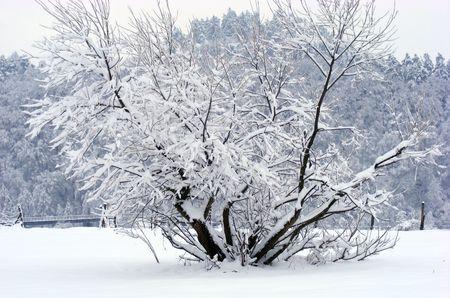 Frozen tree, bush
