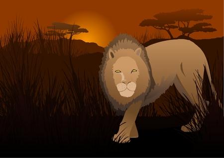 Lion in the savanna