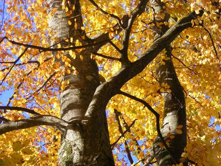 Yellow autumn tree and blue sky Stock Photo - 8246365