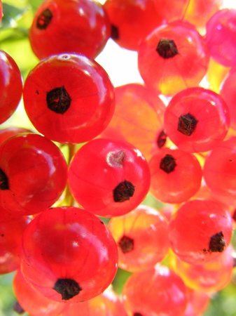 Red Currant close up in the sun Stock Photo - 9967339