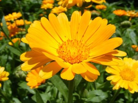 Marigold field Stock Photo - 9967338