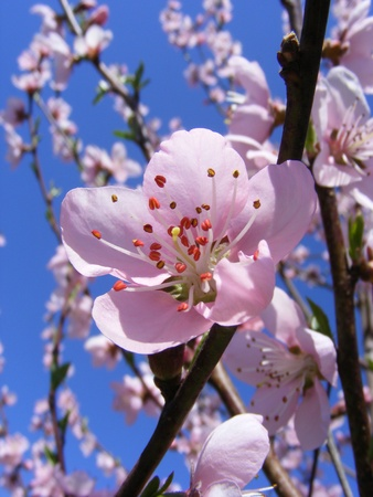 Spring cherry blossoms Stock Photo - 9967335