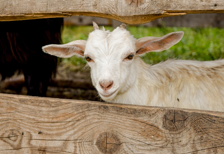 White goat kid in between wooden boards Imagens