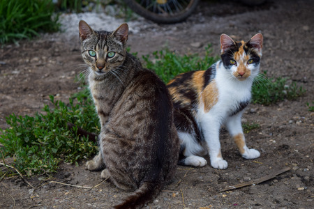 A Tabby cat and three-colored cat 版權商用圖片