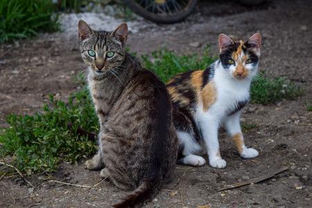 Un chat tigré et le chat tricolore Banque d'images
