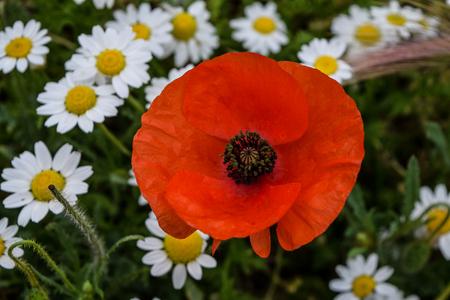 Poppy with chamomile Stock Photo