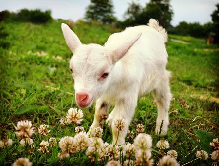 Goat kid  smelling flowers