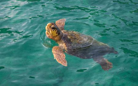 Caretta turtle