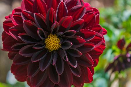 Red velvet Dhalia Stock Photo