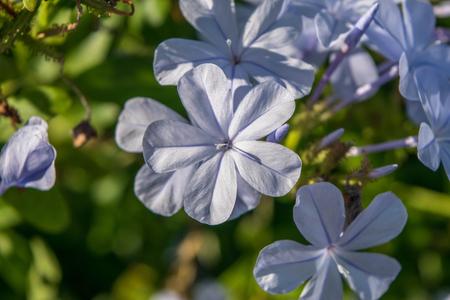 Light blue phlox