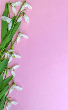 Snowdrops on a pink background Stock Photo