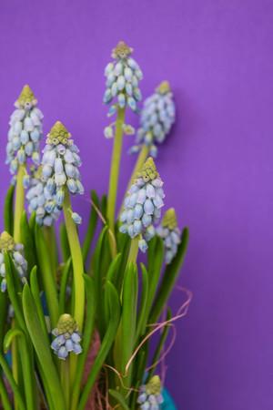 Grape hyacinth, Atlantic, Spring flower on purple background