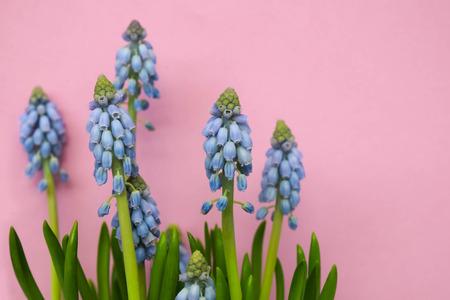 Grape hyacinth, Atlantic, Spring flower on pink background