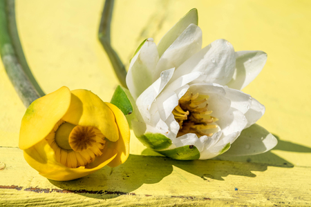 White and yellow water lilly, Lake Skadar, Nuphar lutea and Nymphaea