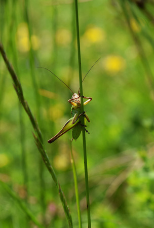 Grasshopper on halm