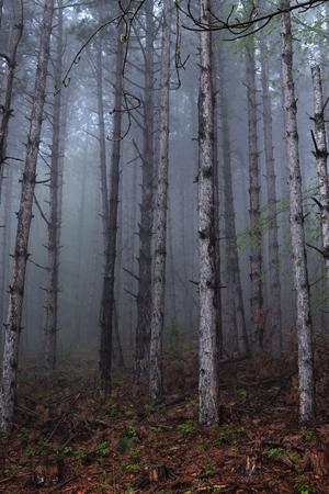 Pine tree trunks in myst Stock Photo