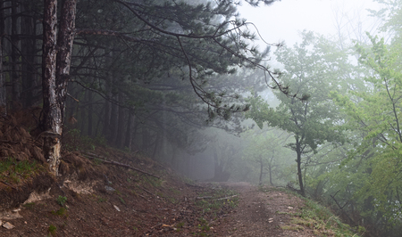 Misty road in a pine forest