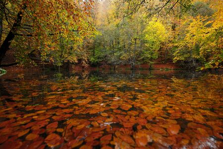 Forest and Swimming Leaves on the Lake with Great Autumn Colors Stock Photo