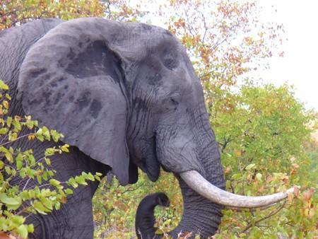 poaching: Elephant Stock Photo