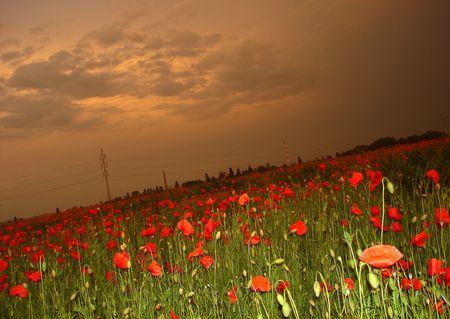 poppy field: Papaverbolkaf veld Stockfoto