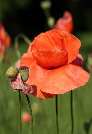 Poppy Stock Photo - 1229358