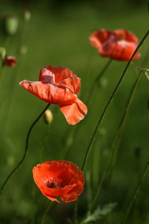 Poppies Stock Photo - 1229360