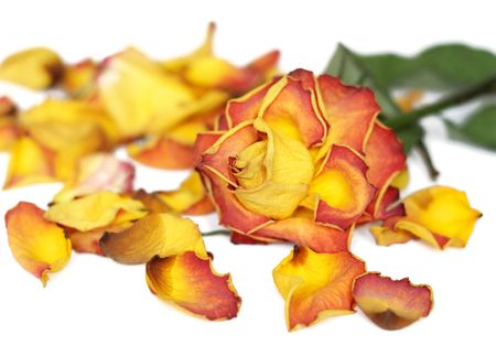 Wilted rose and colorful petals photo