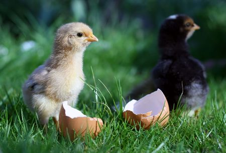 New born chicken and broken egg photo