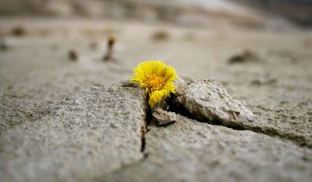 barren: Yellow flower growing in hostile conditions Stock Photo