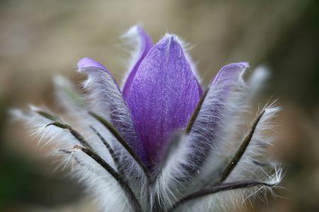Beautiful fluffy spring flower Stock Photo - 2747382
