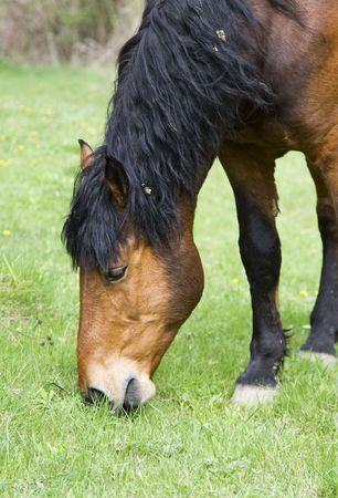 Grazing horse photo