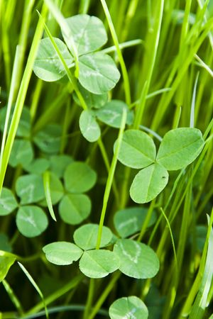 Shamrock in grass Stock Photo - 3034210
