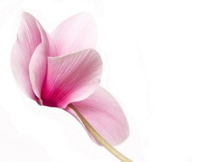 cyclamen: Beautiful soft pink cyclamen isolated  Stock Photo