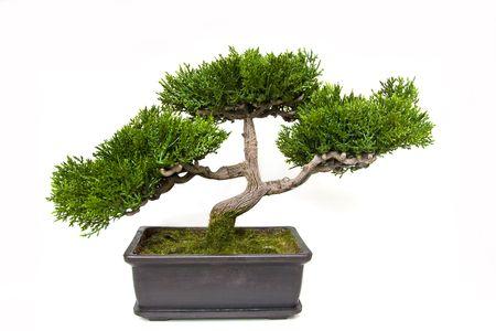 bonsai tree: Bonsai tree in a pot Stock Photo