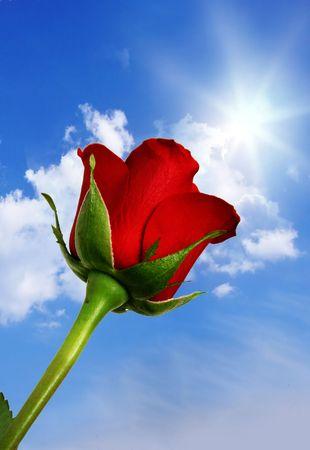 long stem: Red rose against blue sky