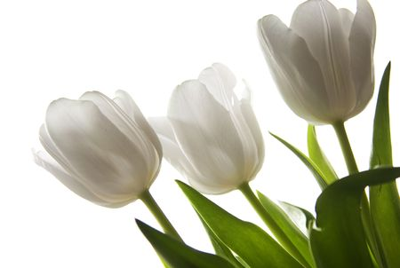 Beautiful white tulips Stock Photo - 6565316