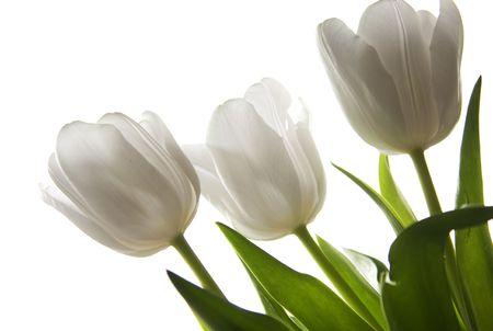 Beautiful white tulips Stock Photo - 6565316