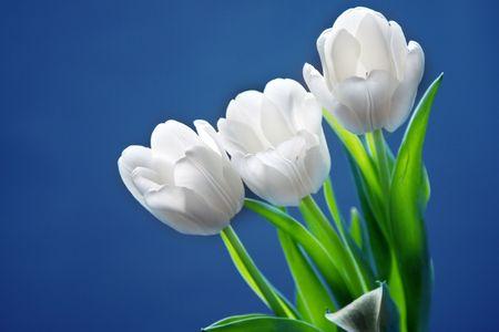Beautiful white tulips on blue background Stock Photo - 6565319