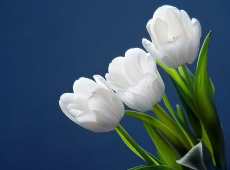 Beautiful white tulips on blue background Stock Photo - 6565313