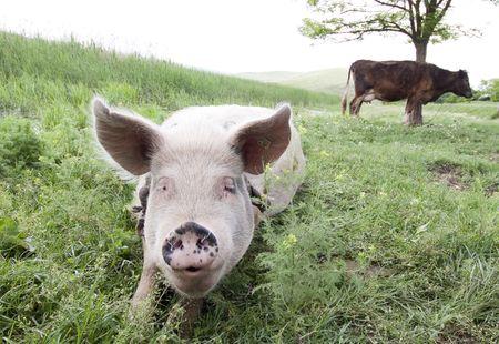 Pig Stock Photo - 7083309