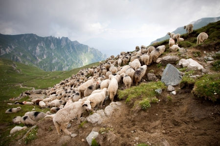 Herd of sheep in Bucegi, Romania  photo