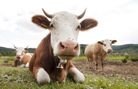 masticar: Vaca divertido
