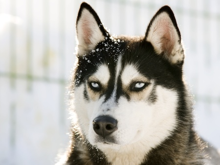 alaskan: Siberian Husky in the Snow
