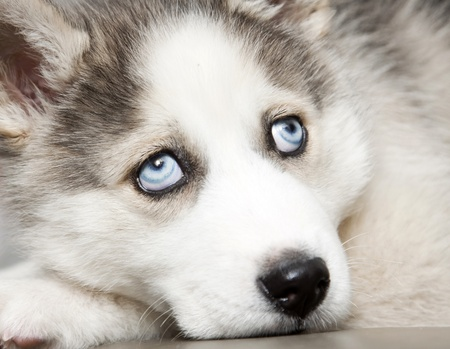 blue eye husky: puppy of siberian husky  Stock Photo